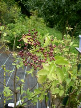 wildobstschnecke sambucus nigra haschberg. Black Bedroom Furniture Sets. Home Design Ideas