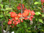 "Chaenomeles japonica ""Cido Red"" (S) - Buschquitte"