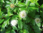 Preview: Cephalanthus occidentalis - Knopfbusch