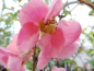 "Preview: Chaenomeles x superba ""Pink Lady"" - Scheinquitte"