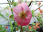 "Preview: Chaenomeles x superba ""Pink Trail"" - Scheinquitte"
