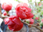 "Preview: Chaenomeles x superba ""Red Joy"" - Scheinquitte"