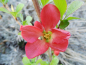 "Mobile Preview: Chaenomeles x superba ""Texas Scarlet"" - Scheinquitte"