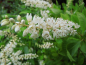 Mobile Preview: Clethra alnifolia - Weiße Zimterle