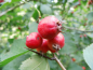 Mobile Preview: Crataegus coccinea - Scharlachdorn