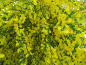 Preview: Cytisus scoparius - Besenginster