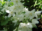 Preview: Deutzia gracilis - Zierliche Deutzie