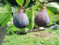 "Preview: Ficus carica ""Brown Turkey"" - Echter Feigenbaum"