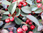 "Mobile Preview: Gaultheria procumbens ""Big Berry"" - Niedere Scheinbeere"