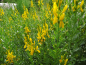 "Preview: Genista tinctoria ""Royal Gold"" - Färberginster"