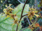 Preview: Hamamelis virginiana - Virginische Zaubernuss