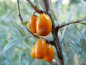 "Preview: Hippophae rhamnoides ""Habego""(S) ""Orange Energy"" - Sanddorn weiblich"