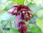 "Preview: Leycesteria formosa ""Purple Rain"" - Karamelbeere"