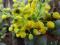 "Preview: Mahonia aquifolium ""Apollo"" - Zwergmahonie"
