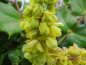 Mobile Preview: Mahonia bealei - Schmuck-Mahonie