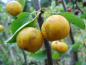 "Preview: Malus ""Butterball"" - Zierapfel"