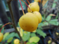 "Preview: Malus ""Harvest Gold"" - Zierapfel"