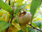 "Preview: Mespilus germanica ""Westerveld"" - Deutsche Mispel"