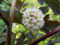 "Preview: Physocarpus opulifolius ""Red Baron"" - Braunrote Blasenspiere"
