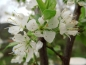 "Mobile Preview: Prunus domestica syriaca ""Bellamira""(S) - Mirabelle"