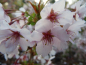 "Preview: Prunus kurilensis ""Ruby"" - Kurilenkirsche"