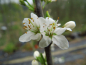 "Preview: Prunus spinosa ""Reto"" - Schlehe"
