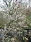 "Preview: Prunus tomentosa ""Orient"" - Korea-Kirsche"