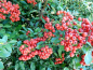 "Preview: Pyracantha coccinea ""Red Column"" - Feuerdorn"