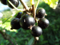 "Mobile Preview: Ribes nigrum ""Ben More"" - Schwarze Johannisbeere"