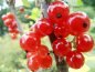 "Preview: Ribes rubrum ""Gerouge 2"" - Rote Johannisbeere"