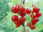 "Preview: Ribes rubrum ""Rolan"" - Rote Johannisbeere"