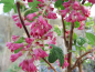 "Mobile Preview: Ribes sanguineum ""King Edward VII"" - Blutjohannisbeere"
