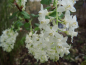 "Preview: Ribes sanguineum ""White Icicle"" - Blutjohannisbeere"