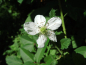 "Preview: Rubus fruticosus ""Black Butte"" - Brombeere"