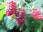 "Preview: Rubus fruticosus x idaeus ""Tayberry"" - Brombeer-Himbeer-Hybride"