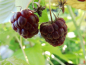 "Mobile Preview: Rubus idaeus ""Aroma Queen"" ""Aromquee"" (S) - Himbeere rot"