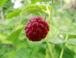 "Preview: Rubus idaeus ""Autumn First"" - Himbeere rot"