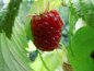 "Preview: Rubus idaeus ""Polka""(S) - Himbeere rot"