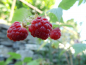 "Mobile Preview: Rubus idaeus ""Rubaca""(S) - Himbeere rot"