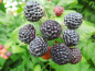 "Preview: Rubus occidentalis ""Black Jewel"" - Himbeere schwarz"