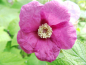 Mobile Preview: Rubus odoratus - Zimt-Himbeere