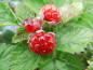 "Mobile Preview: Rubus parvifolius x idaeus ""Dorman Red"" - Himbeer-Hybride"