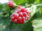 "Mobile Preview: Rubus x loganobaccus ""Loganberry"" - Loganbeere"