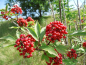 Mobile Preview: Sambucus racemosa - Roter Holunder