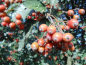 Preview: Sorbus aria - Mehlbeere
