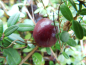 "Preview: Vaccinium macrocarpon ""Early Black"" - Cranberry"