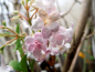 Preview: Viburnum bodnantense - Winterschneeball