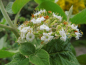 Mobile Preview: Viburnum lantana - Wolliger Schneeball