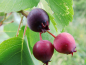"Preview: Amelanchier alnifolia ""Martin"" ""Greatberry® Fruity""- Erlenblättrige Felsenbirne"