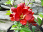 "Mobile Preview: Chaenomeles speciosa ""Hot Fire"" ""Minvesu"" - Chinesische Scheinquitte"